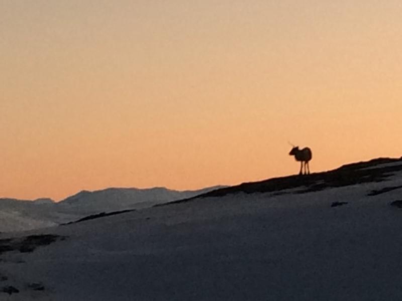 Reindeer on Kjølen Hike