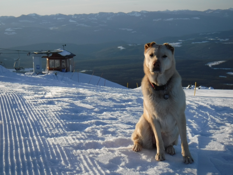 Happy dog at Big White