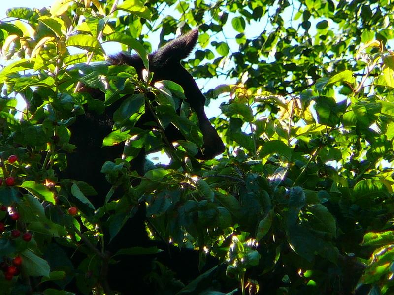 Bear in cherry tree