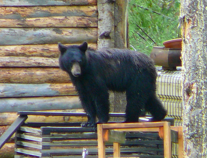 Black bear at Mt Robson Mtn Lodge
