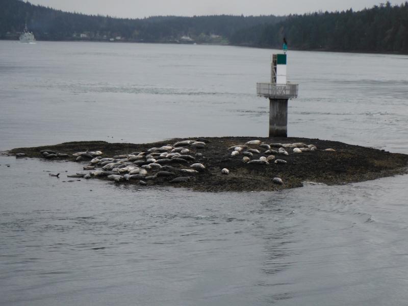 Sea lions Galiano Island