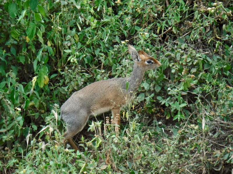 Dik-dik at Lake Manyara National Park