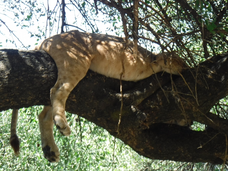 Our highlight: The Tree-Climbing Lion