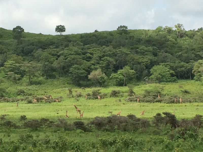 Lots of giraffe in Arusha National Park
