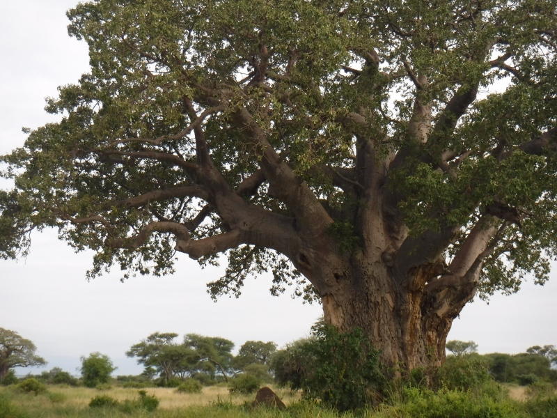 Beautiful trees in Tarangire National Park