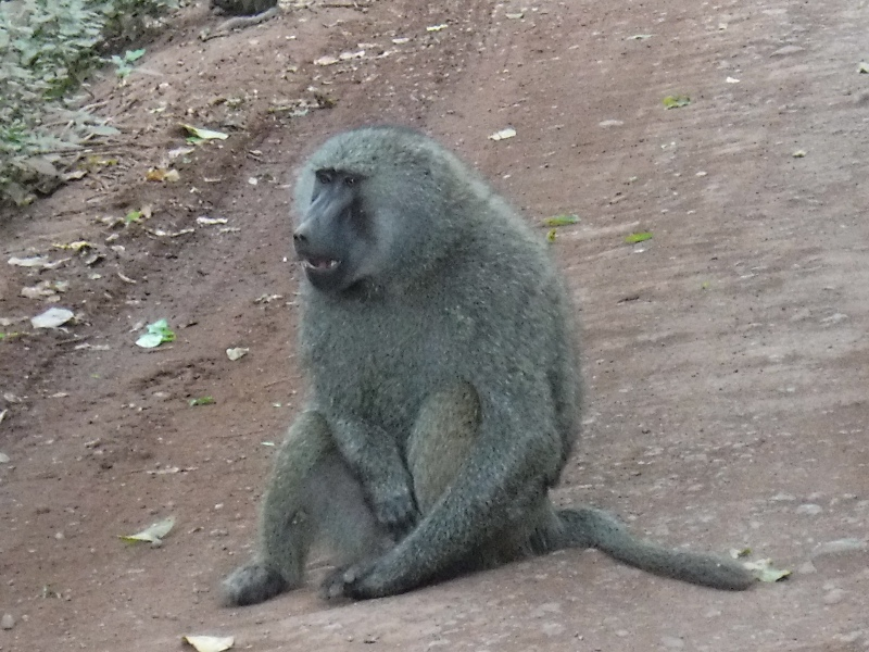 Baboons at Lake Manyara National Park