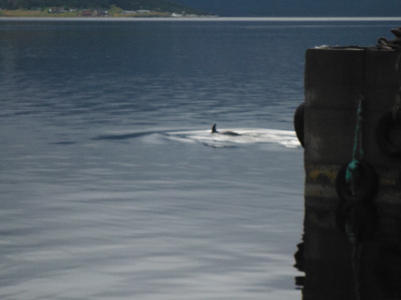 Minke whale off Woody Point - NL
