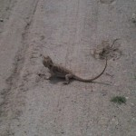 Iguana near Enderby, BC - What the heck!